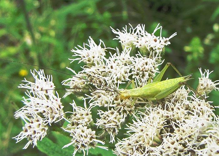 tree-cricket-forbes09-4rz