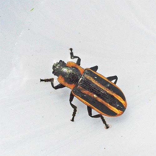x-beetle-ep12-1arz