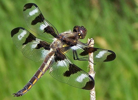 Confusing Summer Dragonflies (Family Libellulidae) | Field Station