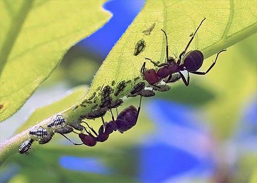 ants-aphids11-1brz