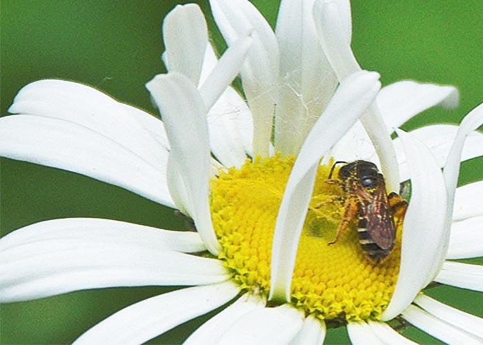bee-in-daisy-2sm