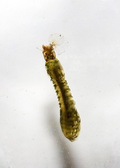 Black fly larva