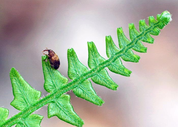 c1-weevil-fern16-1brz