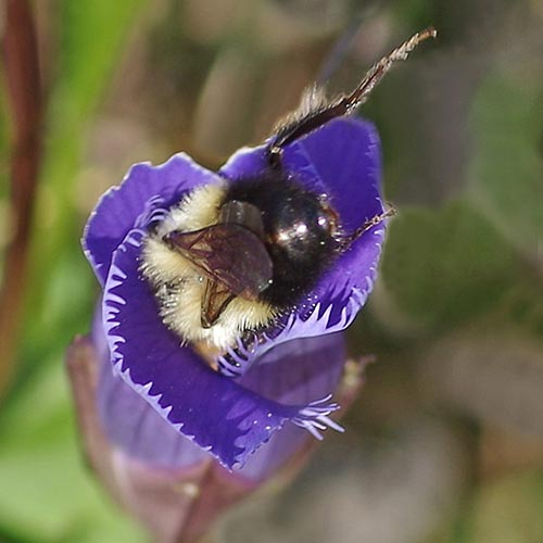 c10-bumblebee-gentian16-2rz