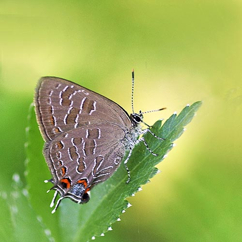 c3-hairstreak-strpd16-2brz