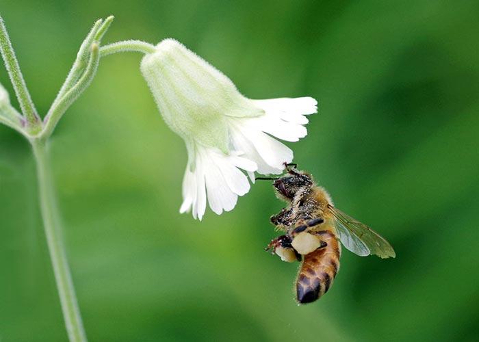 c8-honeybee16-12arz