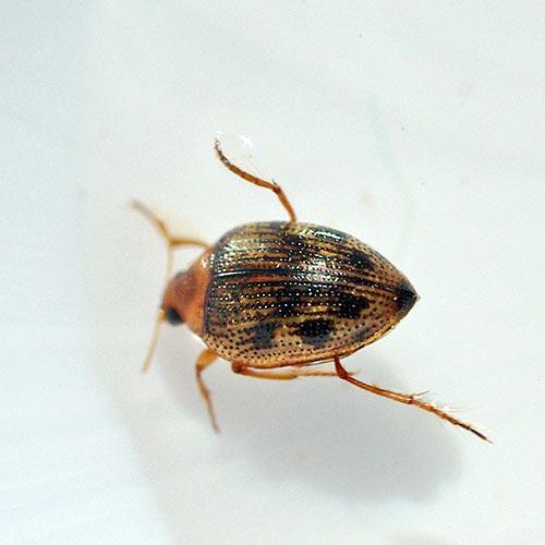 crawling-wtr-beetle12-1