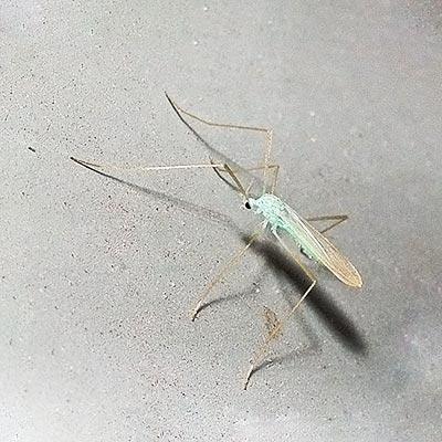 crn-fly-erioptera-chlorophylla11-2rz