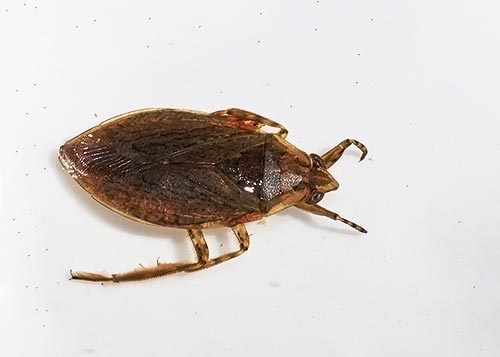 giant-water-bug-mite