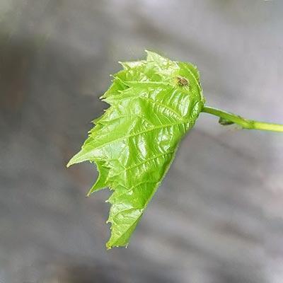 grape-leaf-folded11-2rz