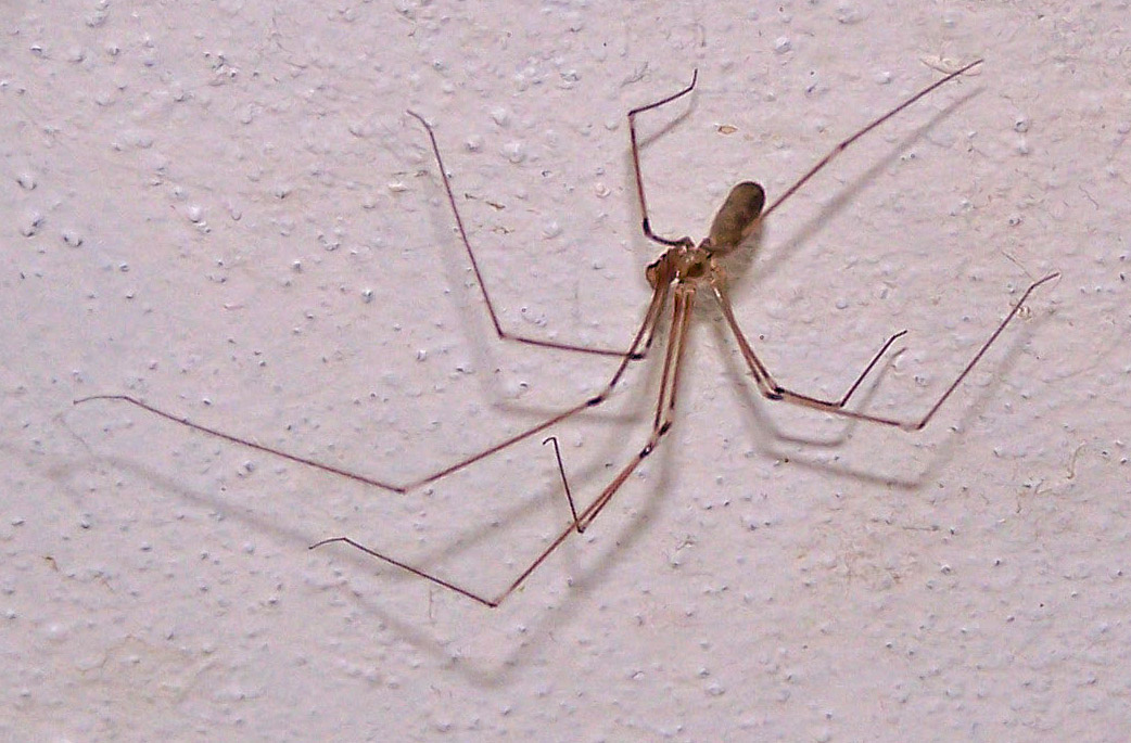 long bodied cellar spider 3