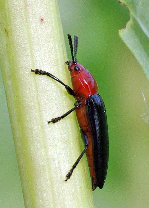 lzrd-beetle-languria11-2rz