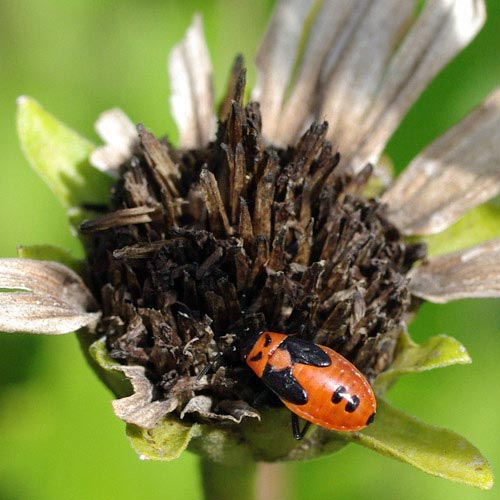 mlkweed-bug-fls-nymph11-1rz