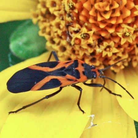 mlkweed-bug-fls11-1