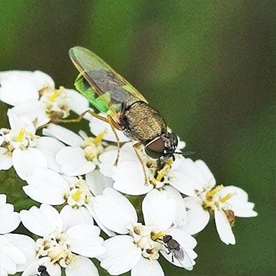 soldier-fly-odontomyia11-1b