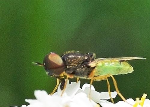 soldier-fly-odontomyia11-2b