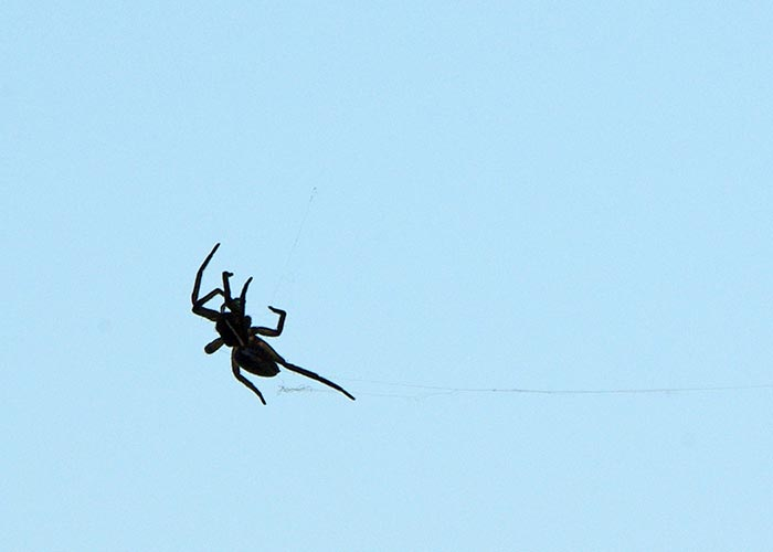spiders-ballooning11-15rz