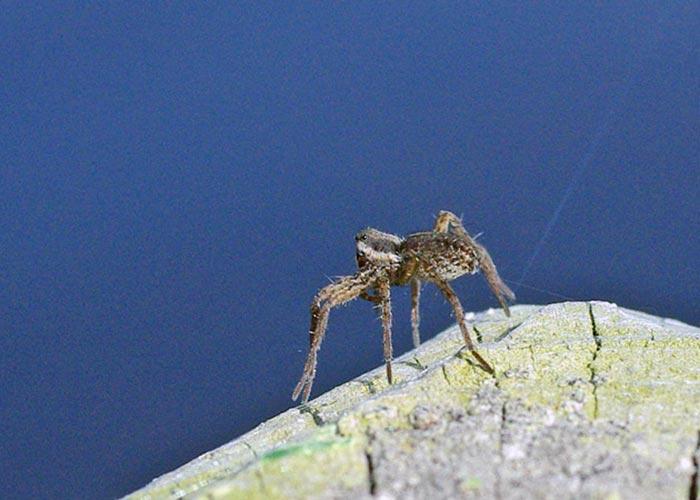 spiders-ballooning11-8rz