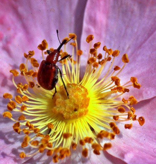 weevil-rose-1c