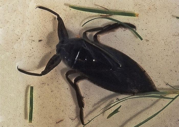 Giant Water Bug Family Belostomatidae Field Station