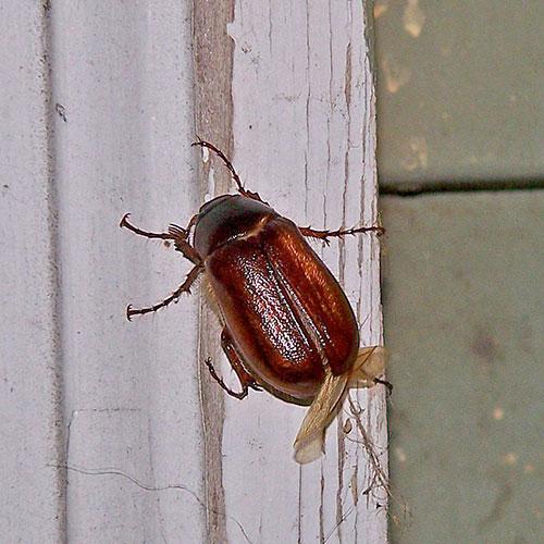 june-beetle-1