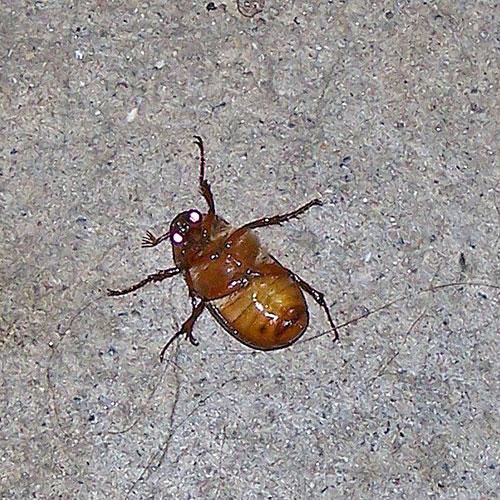 June Beetle (Family Scarabaeidae) - Field Station - photo#27