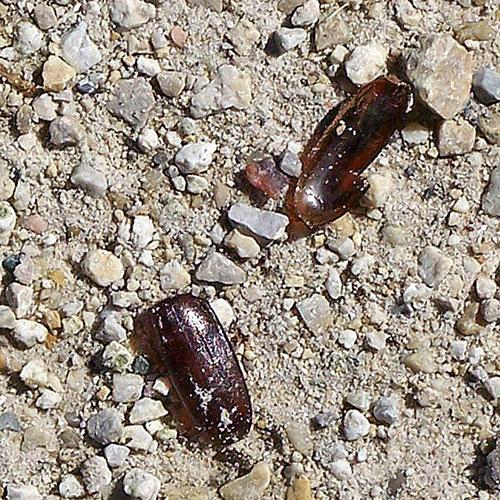 june-beetle-3