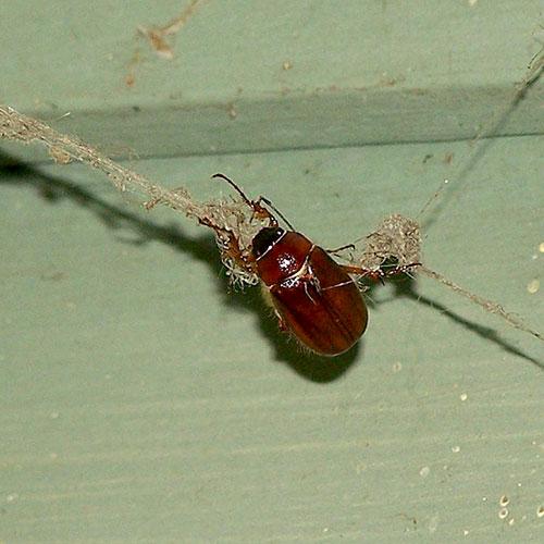 june-beetle-4