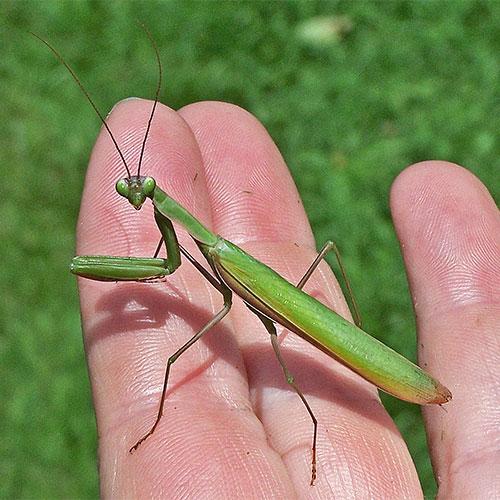 Praying Mantis (Family Mantidae) - Field Station