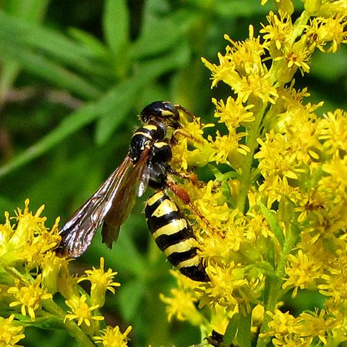 tiphiid-wasp-2