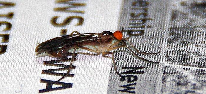 Male Dance fly