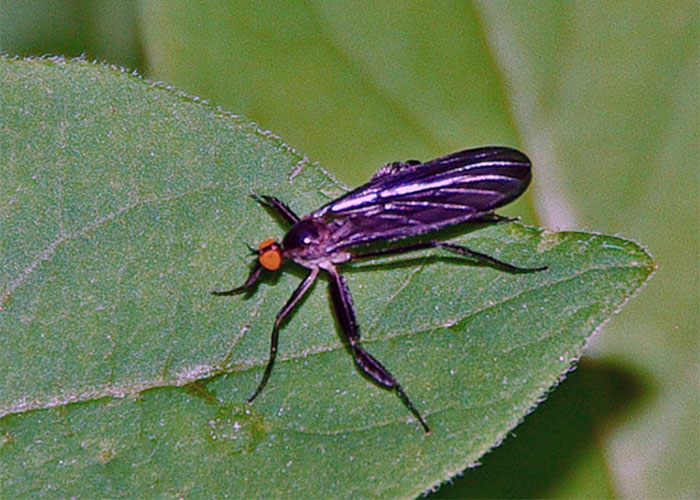 Female Dance flies have feathery legs and their eyes do not meet in the center