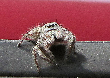 Forward-facing eyes allow the spider to gauge its prey's distance before it leaps