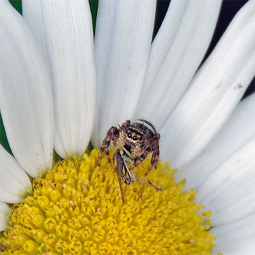 This jumping spider (possibly the dimorphic jumping spider) caught a hover fly