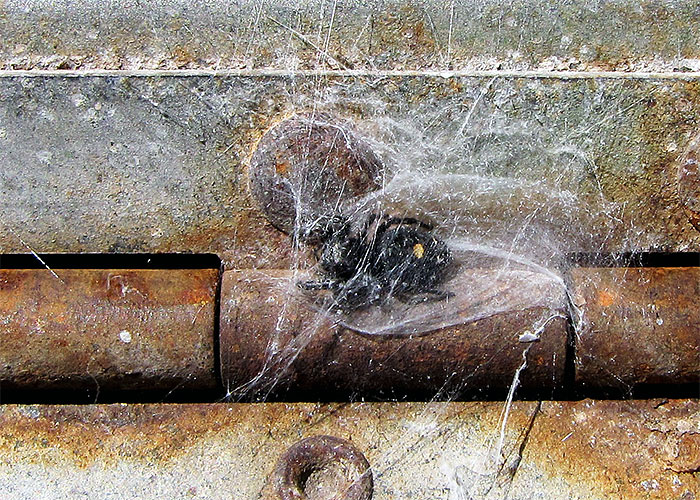 The BugLady's mailbox spider Phidippus audax