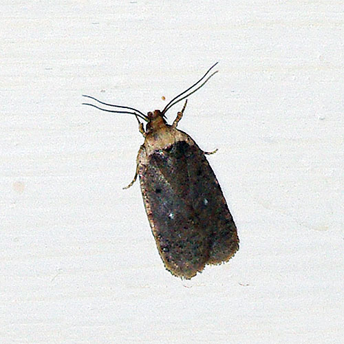 Meal moths come as door prizes in a variety of badly-stored grain/seed products