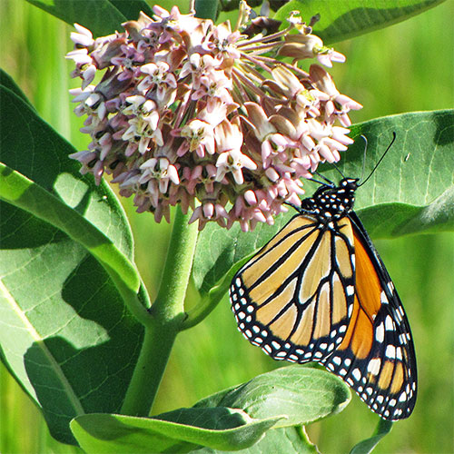 Milkweed's most famous guest