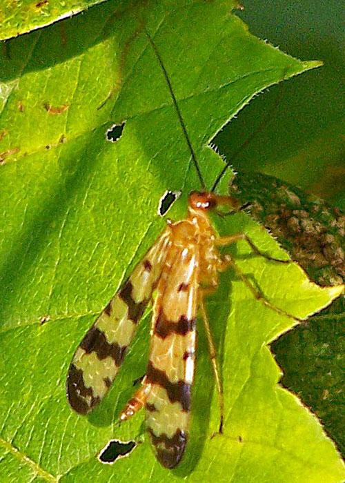scorpionfly-1