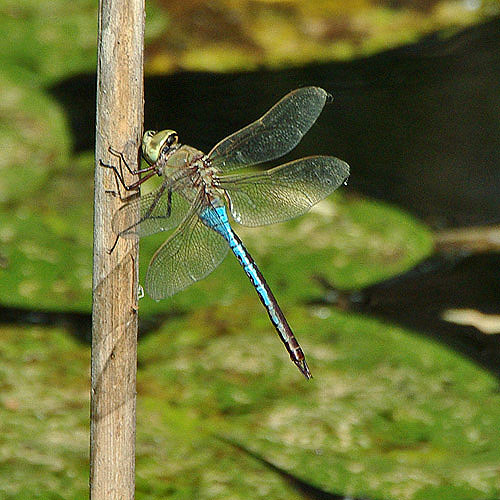 A photographer can wait a long time for a green darner to land in a photographable spot