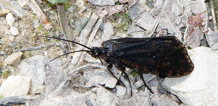 Large stonefly, late spring