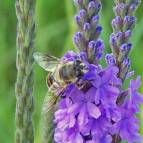 syrphid-fly-1