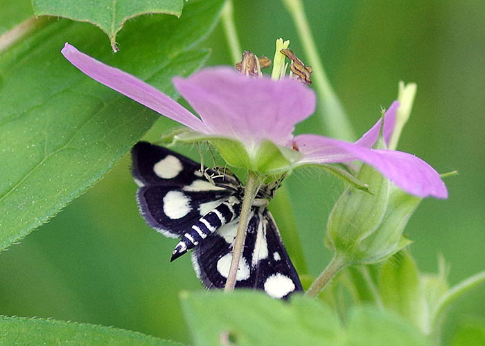 white-spotted salbe moth