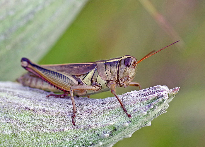 And Insects Called Locusts The Common Names Seem To Be Used Interchangeably For Example Carolina Locust In Band Winged Grhopper