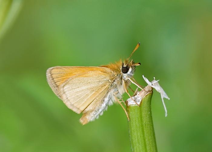 European Skipper Butterfly on plant