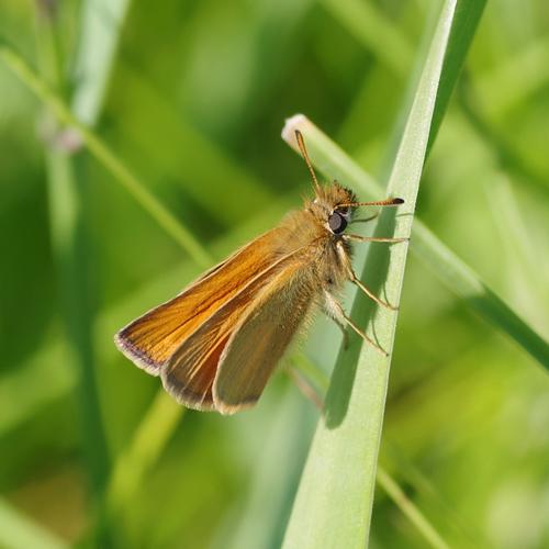 European Skipper Butterfly in grass