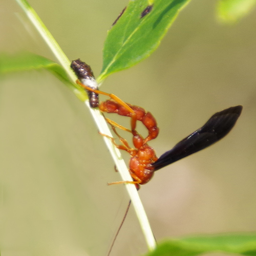 Ichneumon trogus and Caterpillar