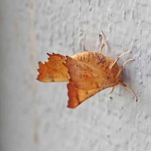 Maple Spanworm