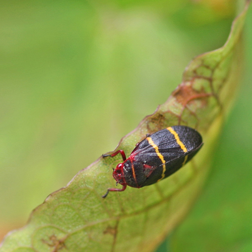 Two Lined Spittlebug