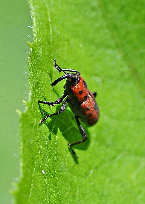 Red Cocklebur Weevil