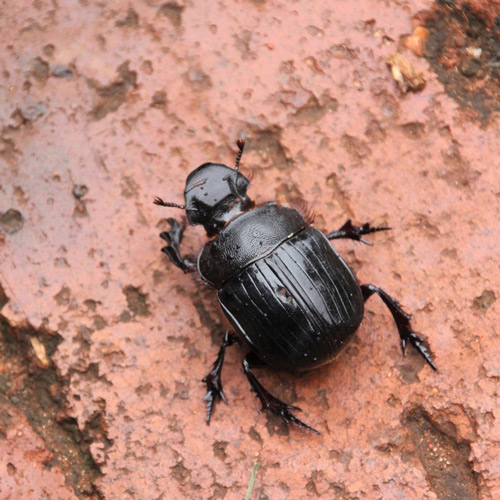 Dung beetle | Field Station